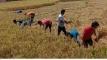 শ্রমিক সঙ্কটে কৃষকের ধান কেটে দিলো ছাত্রলীগ
