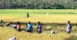 রোয়াংছড়িতে কৃষকের ধান কেটে দিলেন উপজেলা ছাত্রলীগ