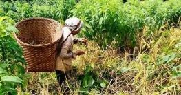 বান্দরবানের পাহাড়ী পল্লীতে চলছে জুমের ধান কাটার উৎসব